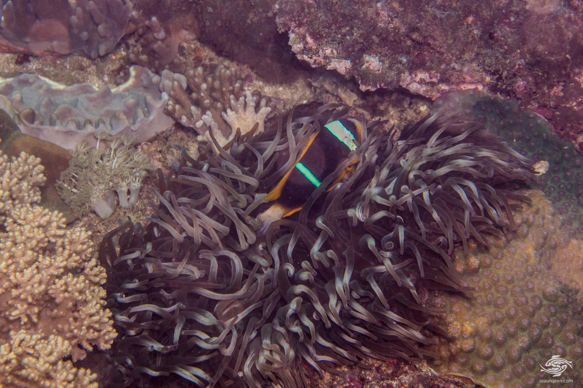Bubble Tip Anemone (entacmaea quadricolor) long tentacle specimen