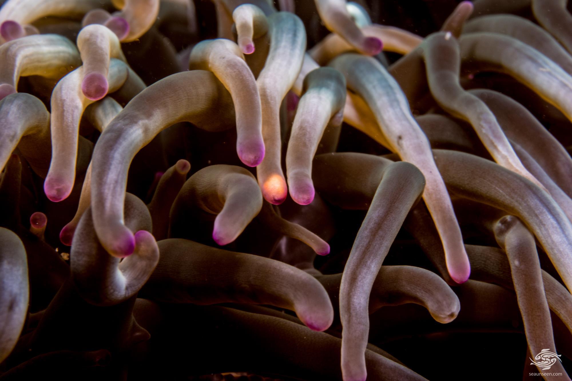 Bubble Tip Anemone (entacmaea quadricolor) tips of long tentacle specimen