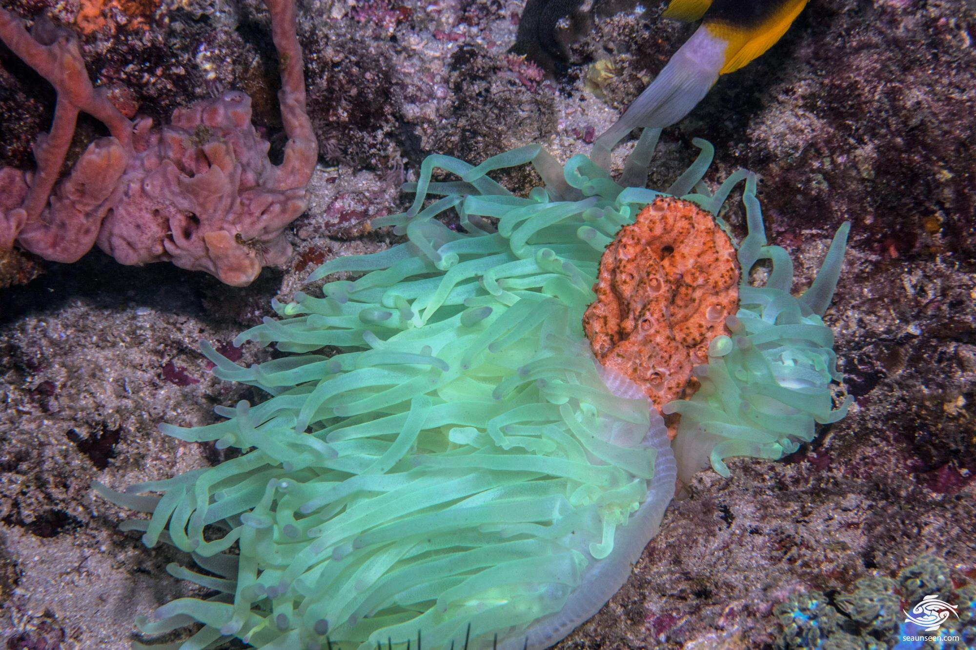 Bleaching Bubble Tip Anemone (entacmaea quadricolor)