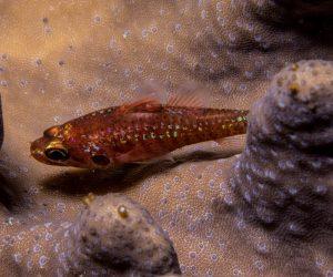 Barred Cardinalfish Fowleria marmorata