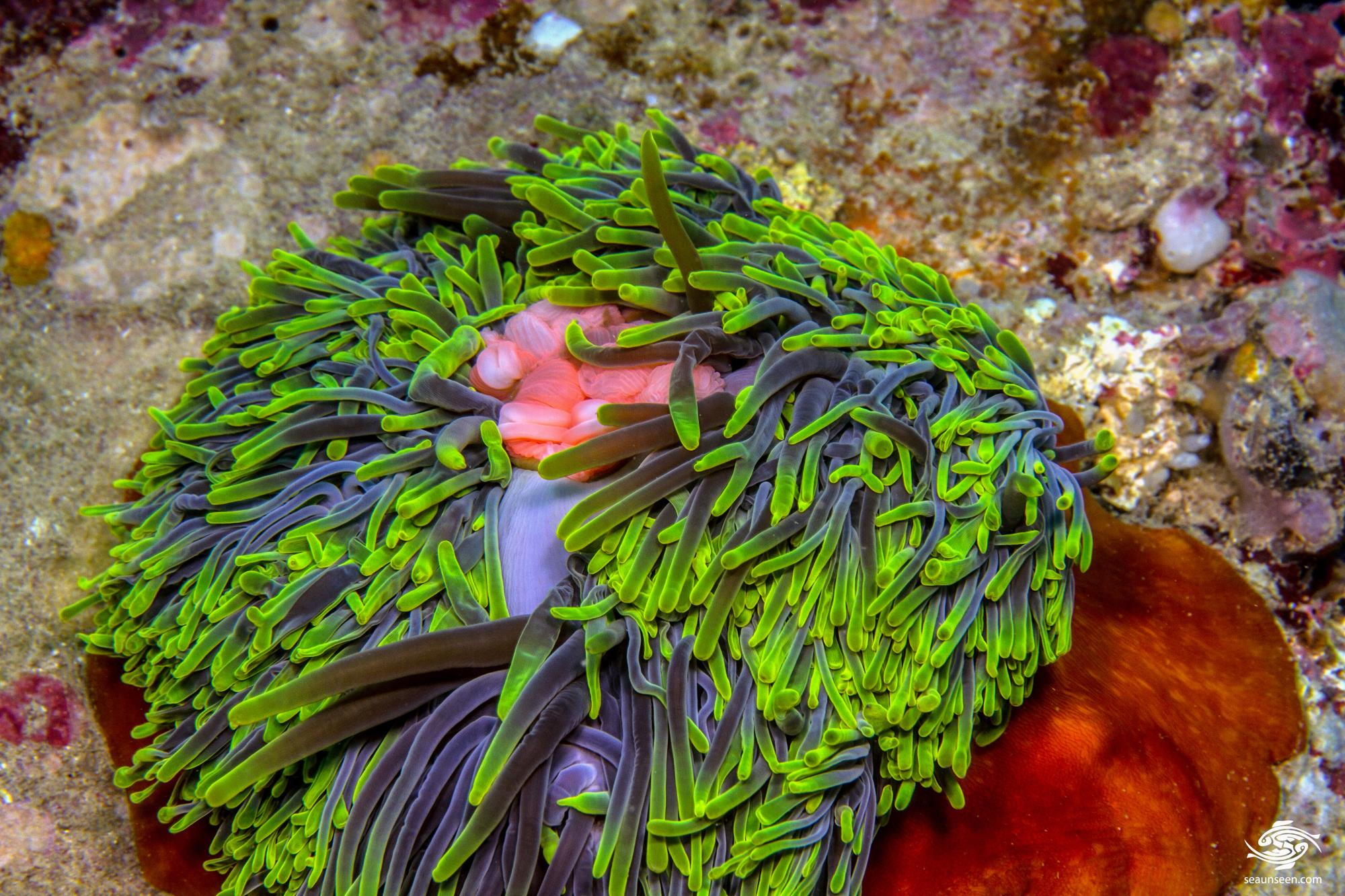 Bubble Tip Anemone (entacmaea quadricolor) with stomach distended