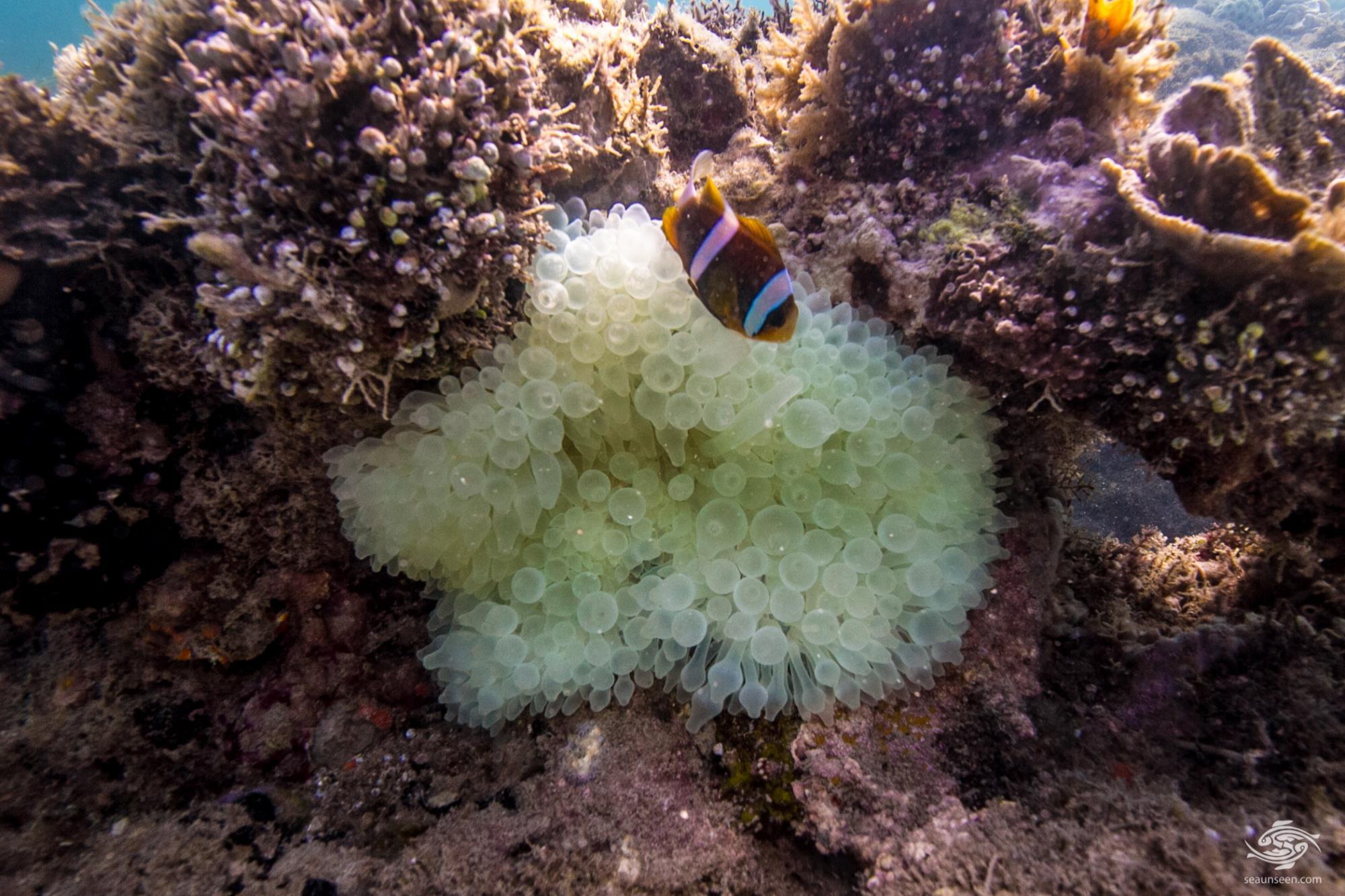 Bleached Bubble Tip Anemone (entacmaea quadricolor)