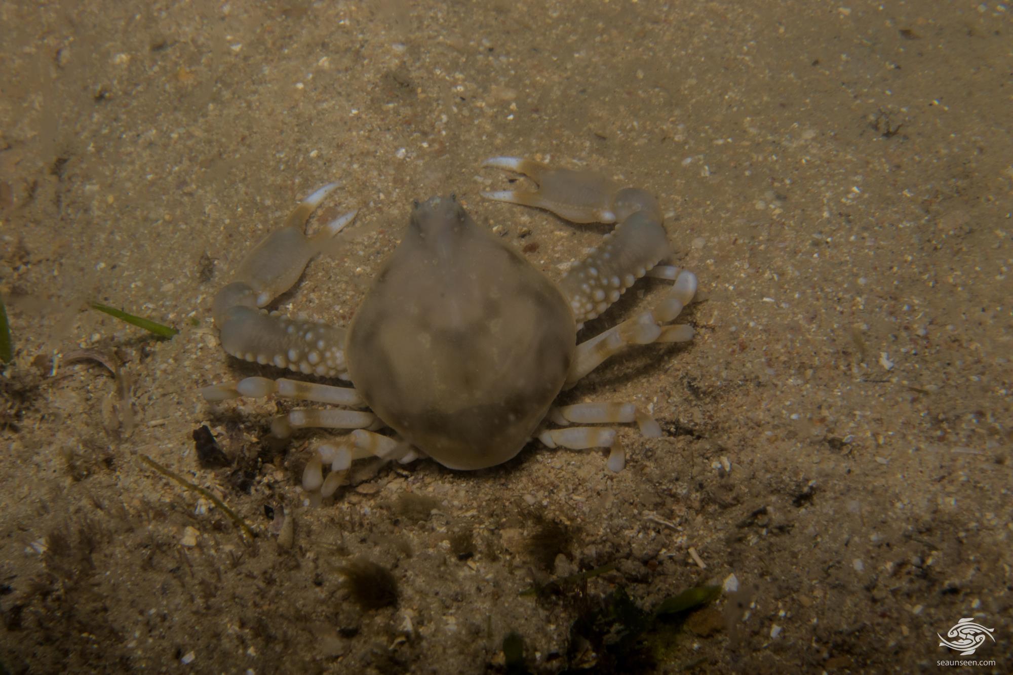 Olive Purse Crab, Leucosia pubescens