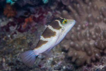 Blue-spotted Toby (Canthigaster cyanospilota)