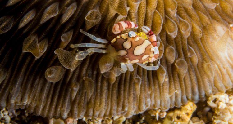 Harlequin Swimming Crab, Lissocarcinus laevis
