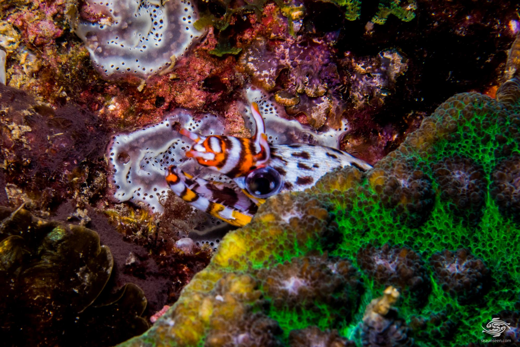 Dragon Moray Eel, Enchelycore pardalis is also known as the Dragon Moray Eel