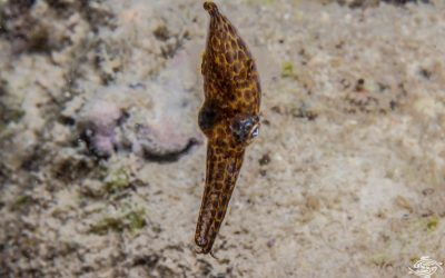 Pygmy Squid found in Tanzania possibly undescribed