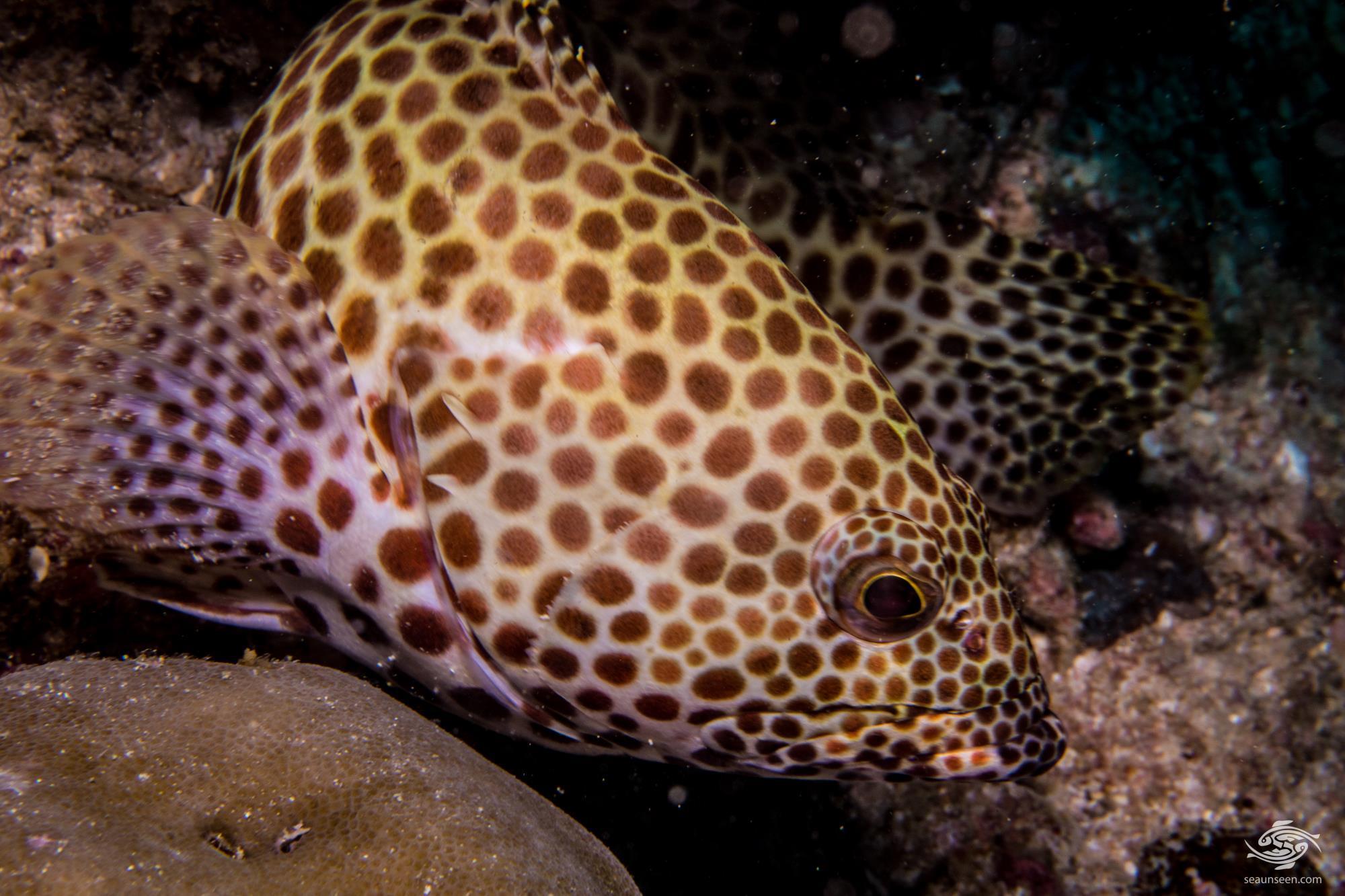 Honeycomb grouper Epinephelus merra