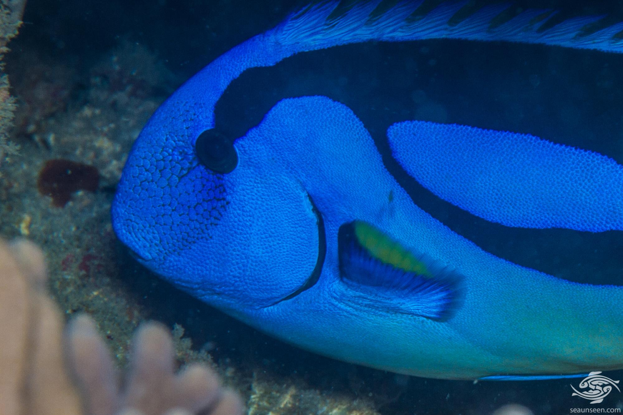 Regal Blue Tang (Paracanthurus hepatus) also known as the Blue Tang, the Palette Surgeonfish, the Hepatus Tang and of course more famously as Dory