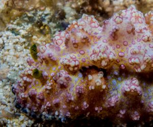 Phyllidiopsis cardinalis also known as the Cardinal Phyllidiopsis
