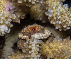 Hairy Coral Crab (Cymo andreossyi) is also known as the Furry Coral Crab