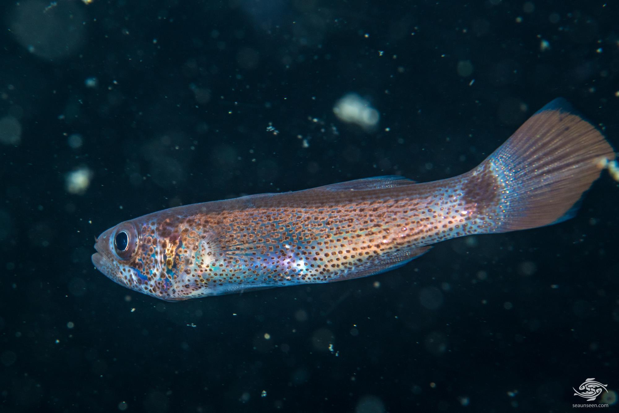 Gelatinous cardinalfish (Pseudamia gelatinosa)