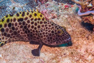 Snubnose Grouper (Epinephelus macrospilos) is also known as the Large-spotted Rockcod, Bigspot Rockcod and Longfin Grouper