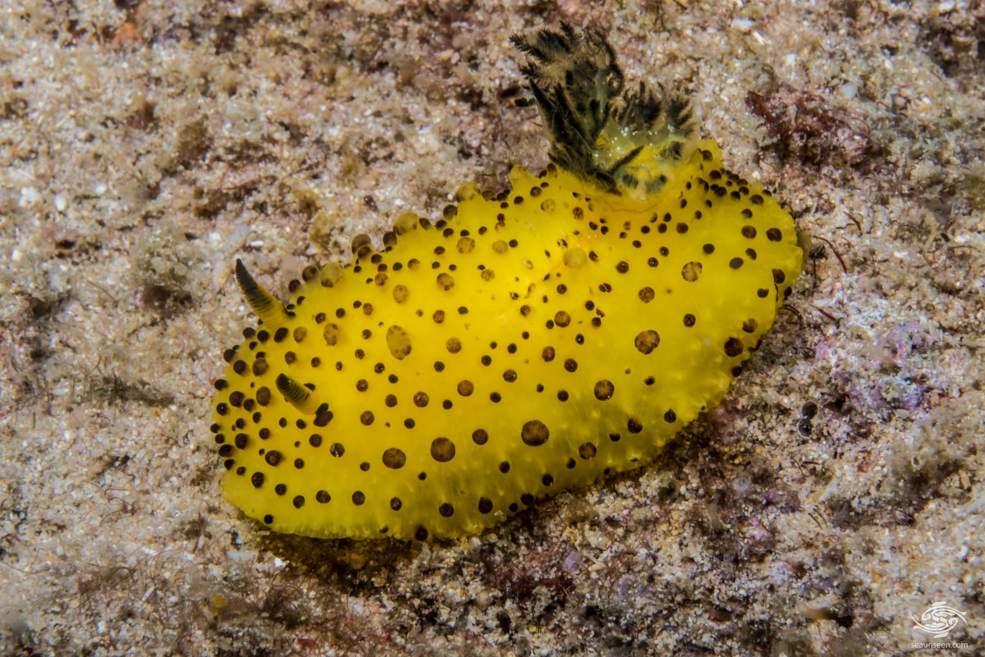 Doris ananas also known as the Pineapple Nudibranch