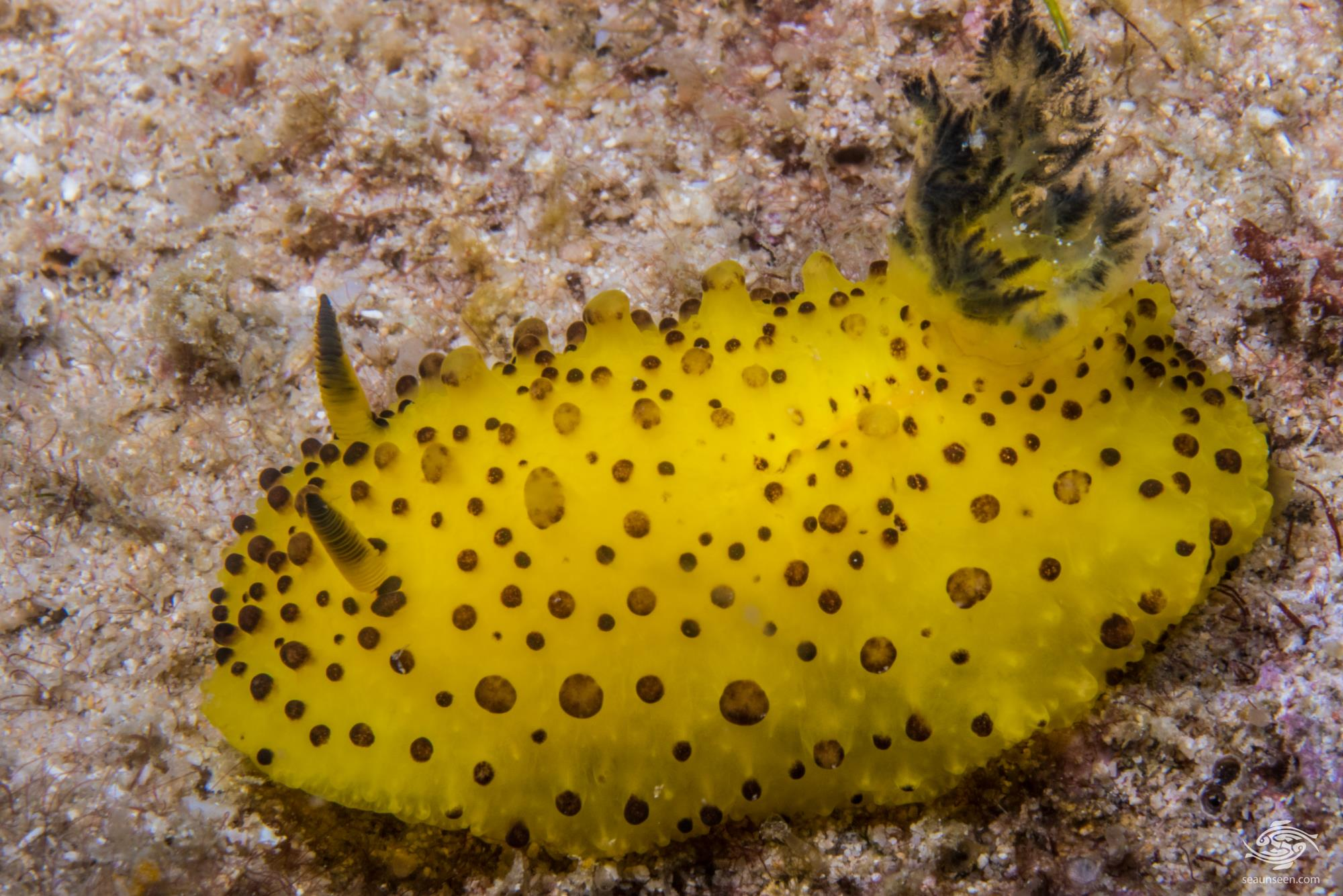 Pineapple Nudibranch 2