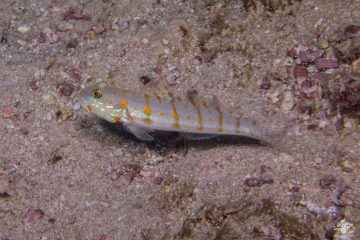 Orange-spotted sleeper-goby (Valenciennea puellaris) also known as the Orange-dashed goby, Maiden goby and Diamond Watchman goby
