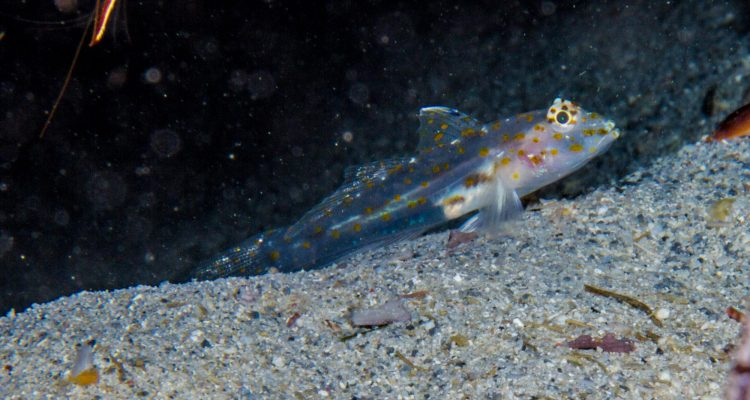 Transparent Cave Goby (Fusigobius pallidus) is also known as the Pale Sand Goby.