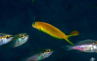 Midas blenny (Ecsenius midas) is also known as the Golden Blenny, the Lyretail blenny and the Persian blenny