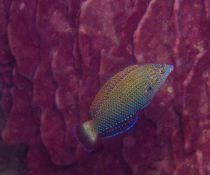 Initial phase Bluespotted wrasse (Anampses caeruleopunctatus)