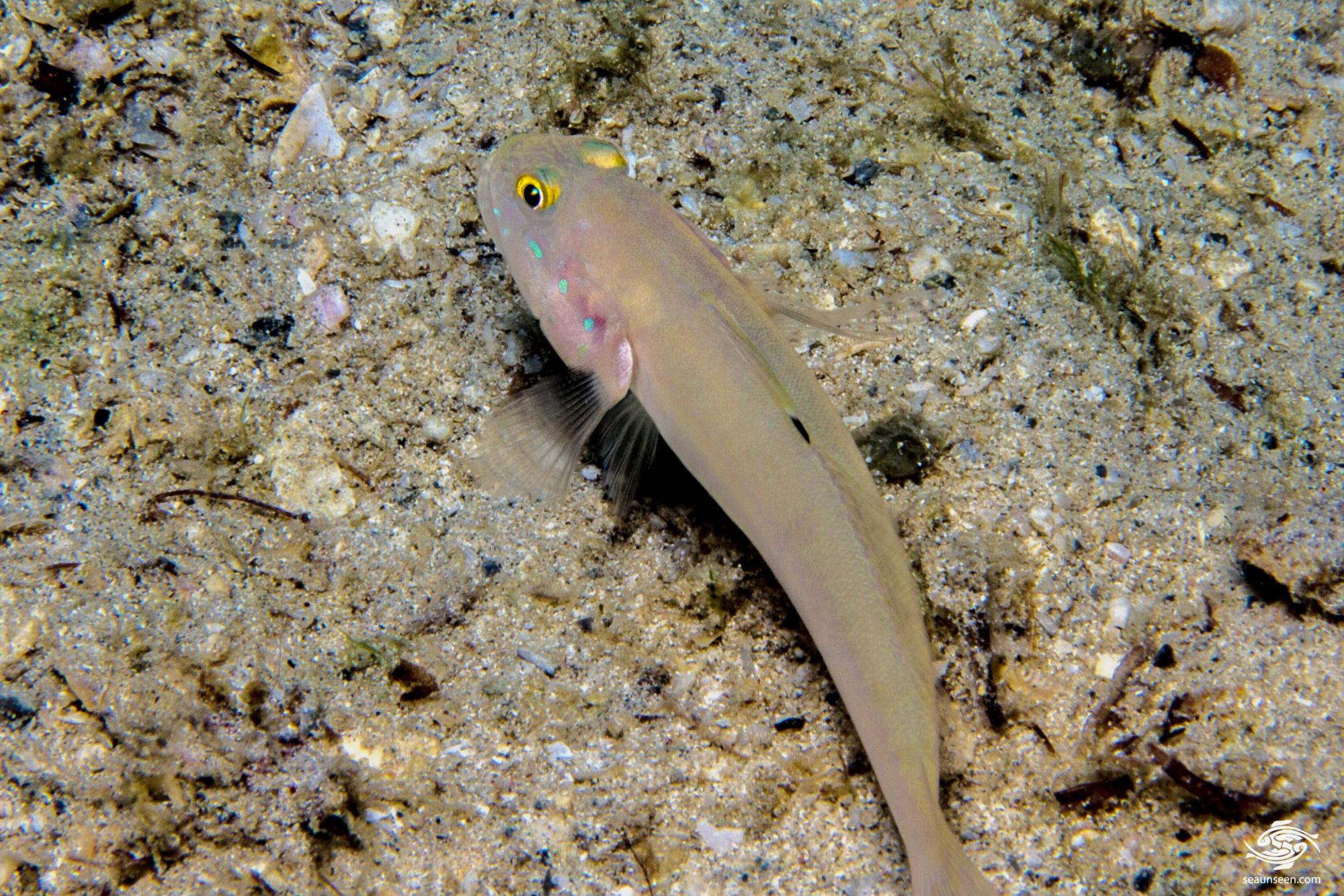 Sleeper Blue Dot Goby (Valencienna sexguttata) also known as the Chalk Goby and the Sixspot Goby