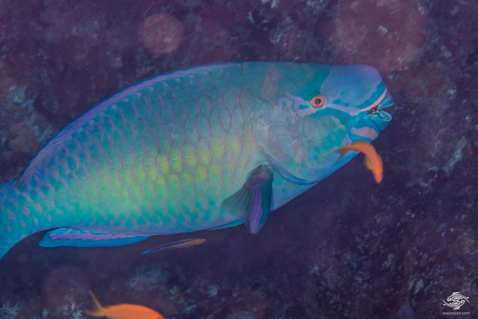 Terminal Phase Male Ember Parrotfish (Scarus rubroviolaceus)  is also known as the Redlip Parrotfish and Bicolor Parrotfish