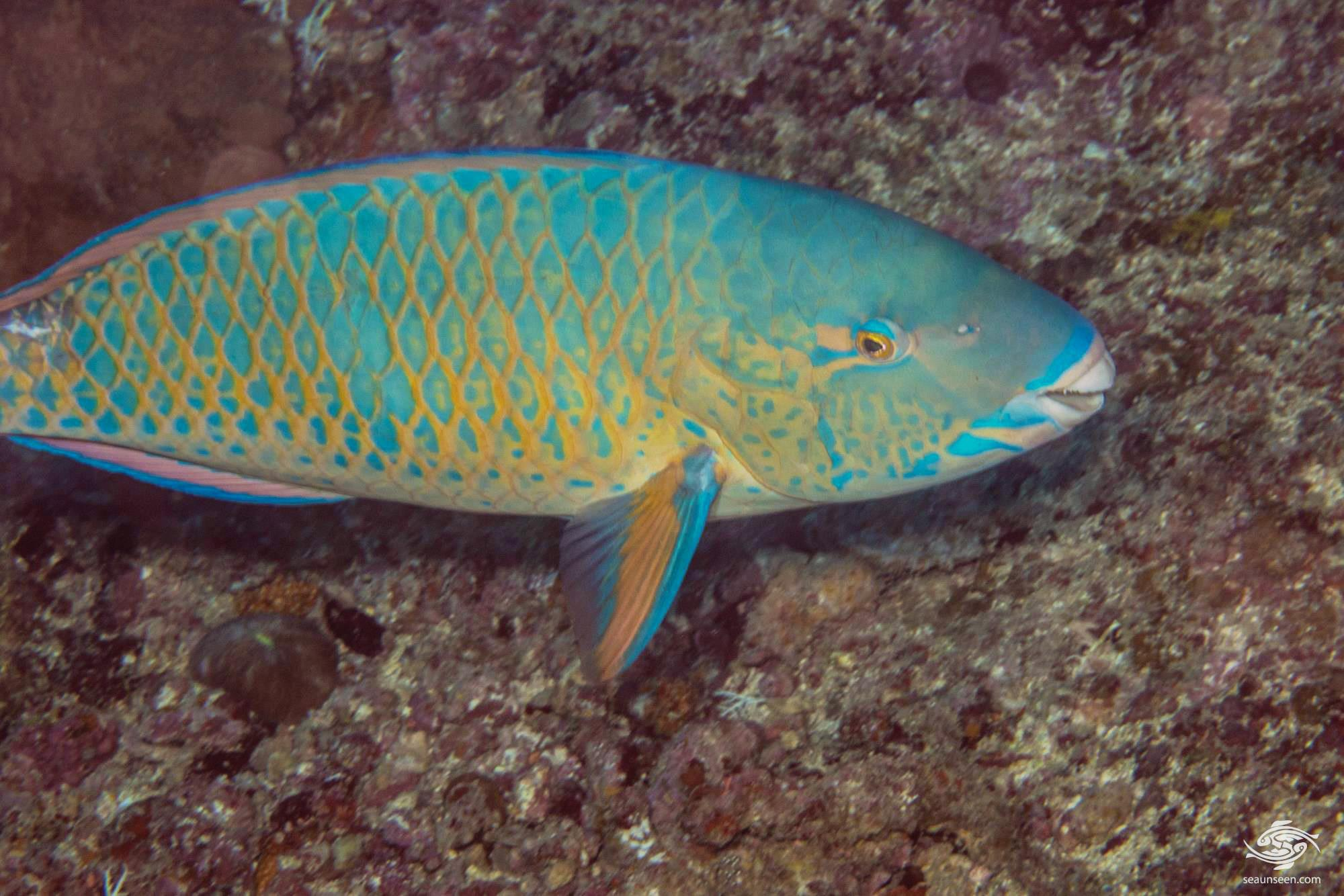 Blue-barred Parrotfish (Scarus ghobban) is also known as the Blue trim Parrotfish, Globe-headed Parrotfish, Green blotched Parrotfish and Bluechin parrotfish