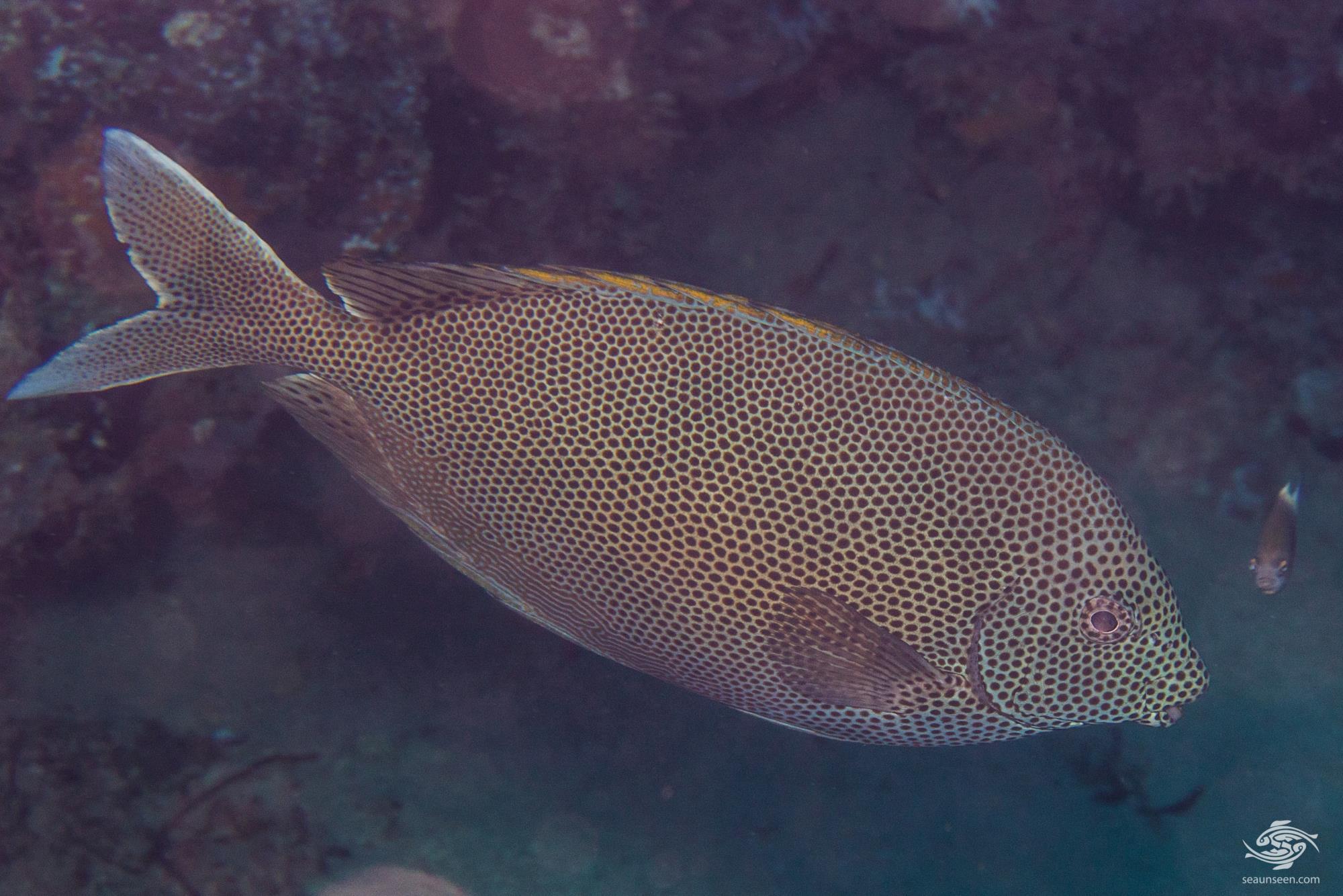 Honeycomb rabbitfish 1