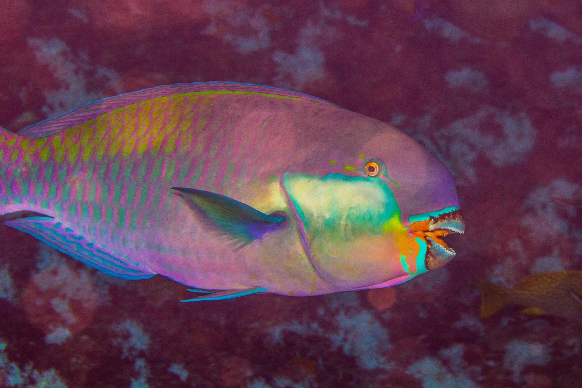 Terminal Phase male Steephead parrotfish (Chlorurus strongylocephalus) also known as the Roundhead Parrotfish