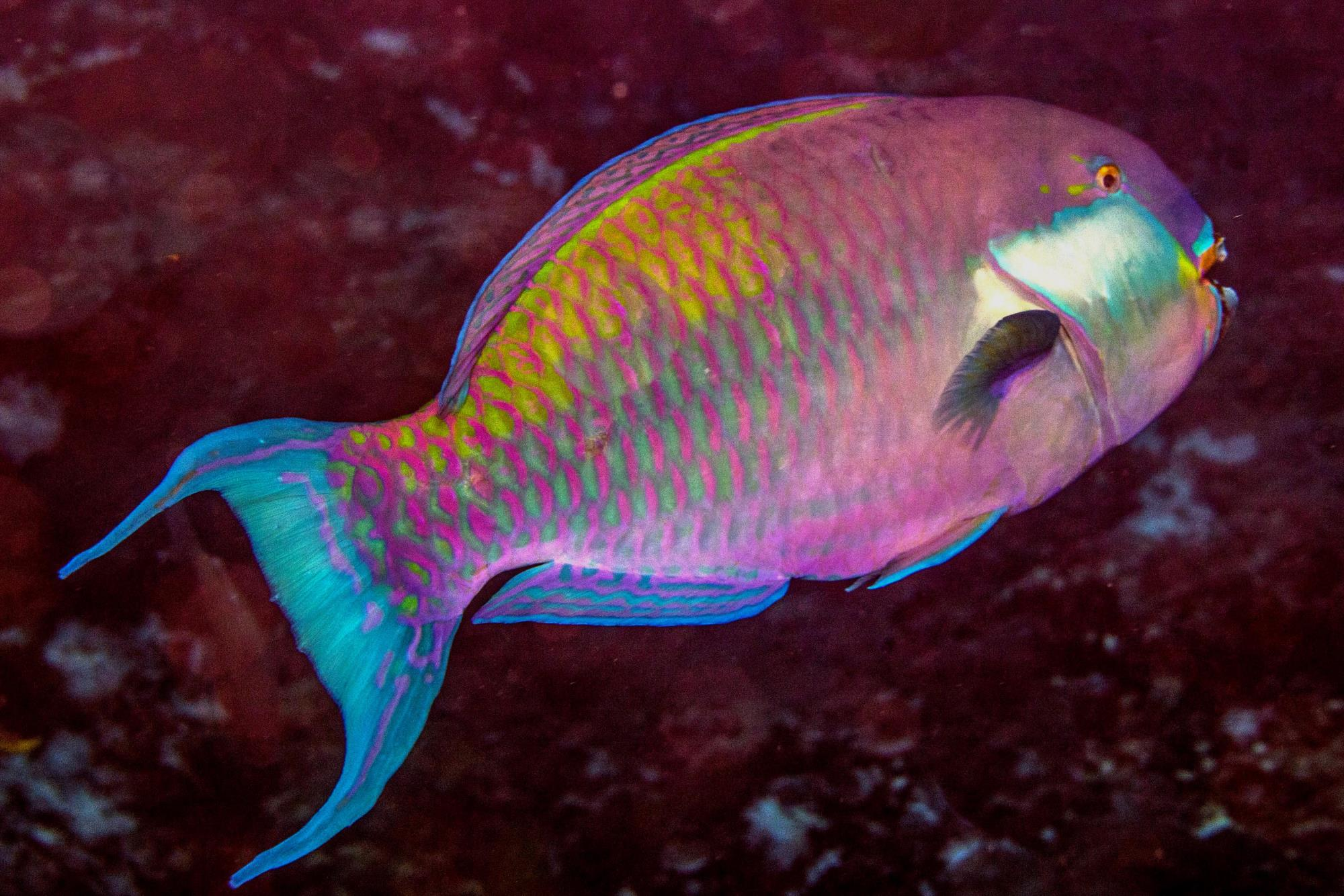 Terminal Phase male parrotfish (Chlorurus strongylocephalus) also known as the Rounhead Parrotfish