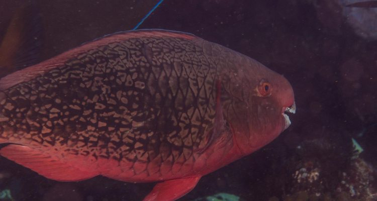 Fully mature Initial Phase Ember Parrotfish (Scarus rubroviolaceus)  is also known as the Redlip Parrotfish and Bicolor Parrotfish
