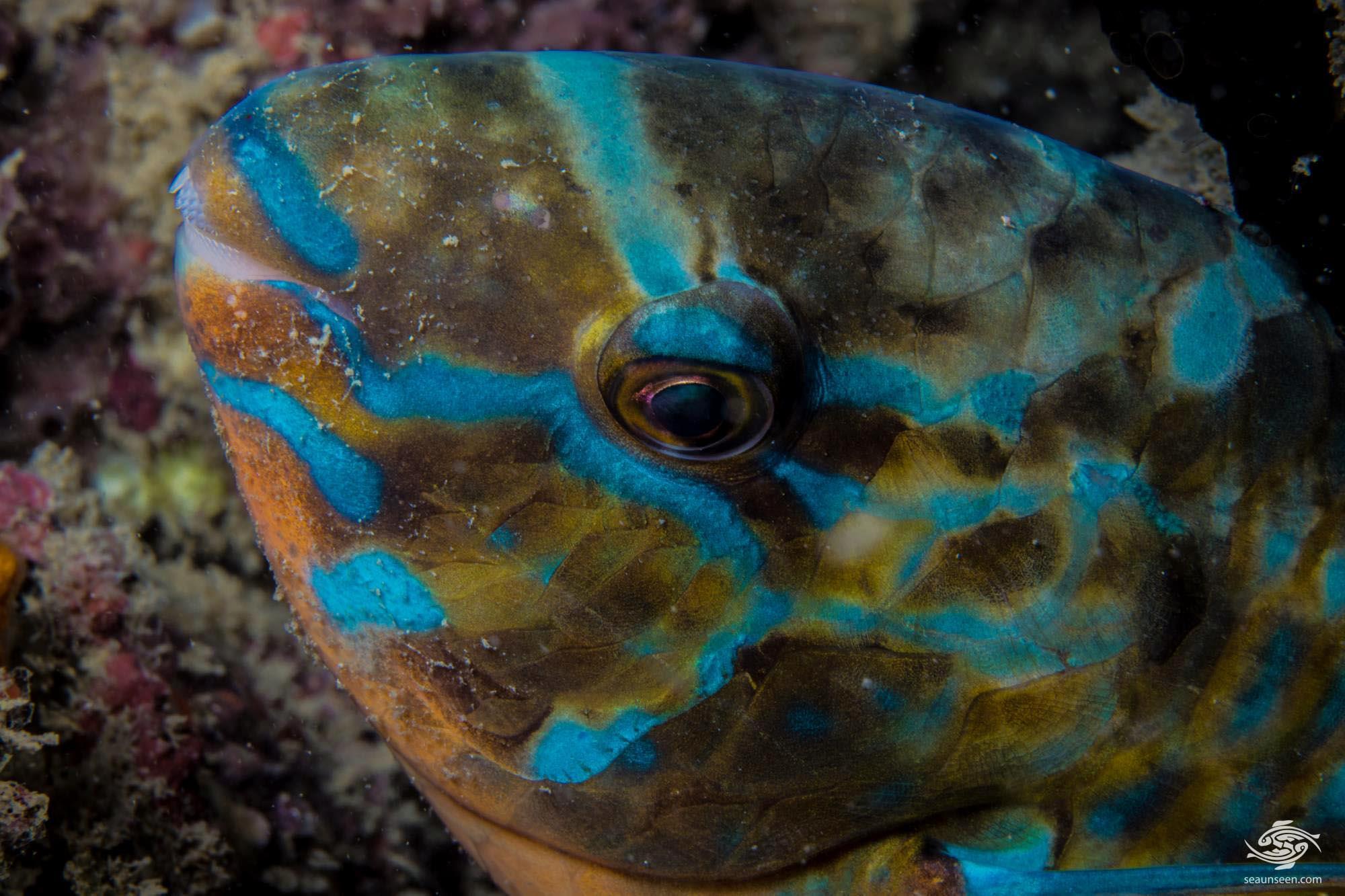 Blue barred Parrotfish 1