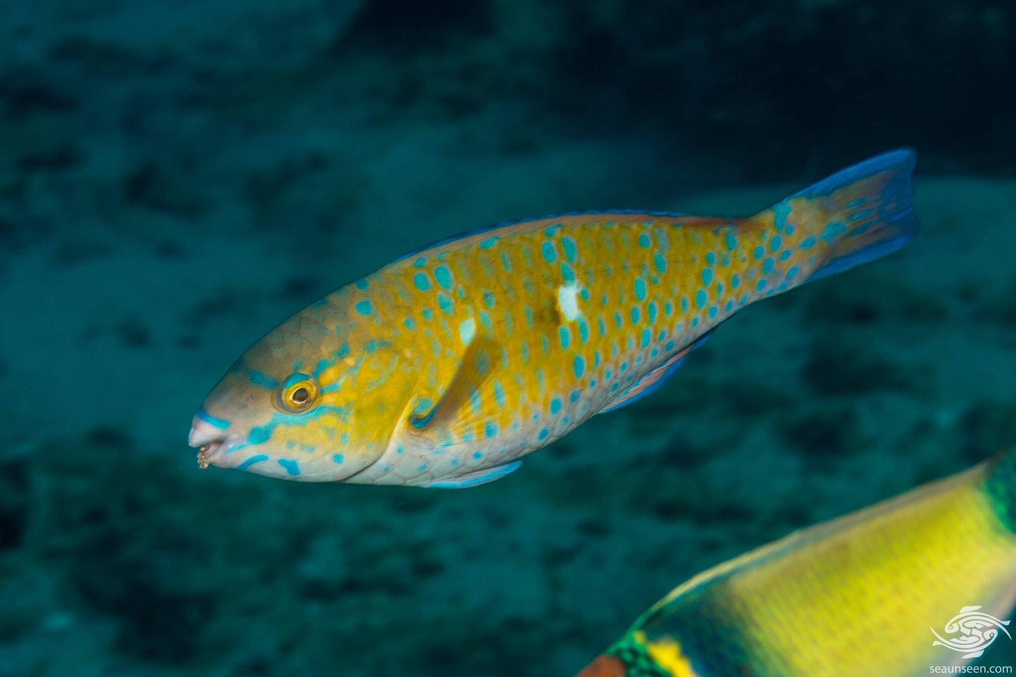 Juvenile Blue-barred Parrotfish (Scarus ghobban) is also known as the Blue trim Parrotfish, Globe-headed Parrotfish, Green blotched Parrotfish and Bluechin parrotfish