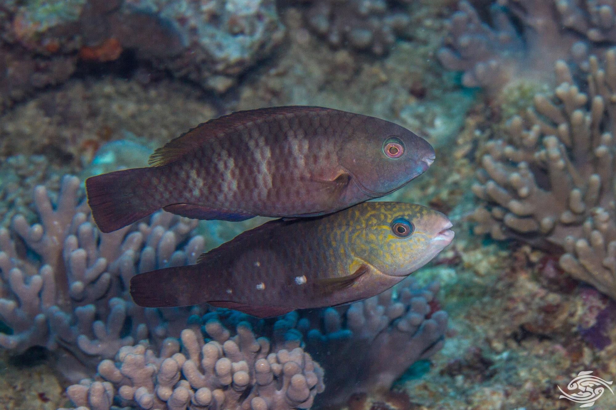 blue parrotfish facts