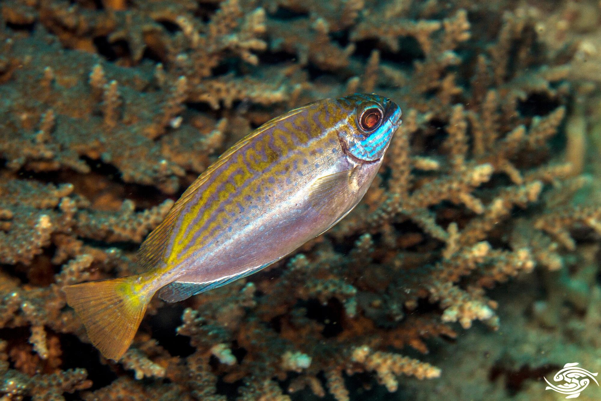Dusky Rabbitfish 1