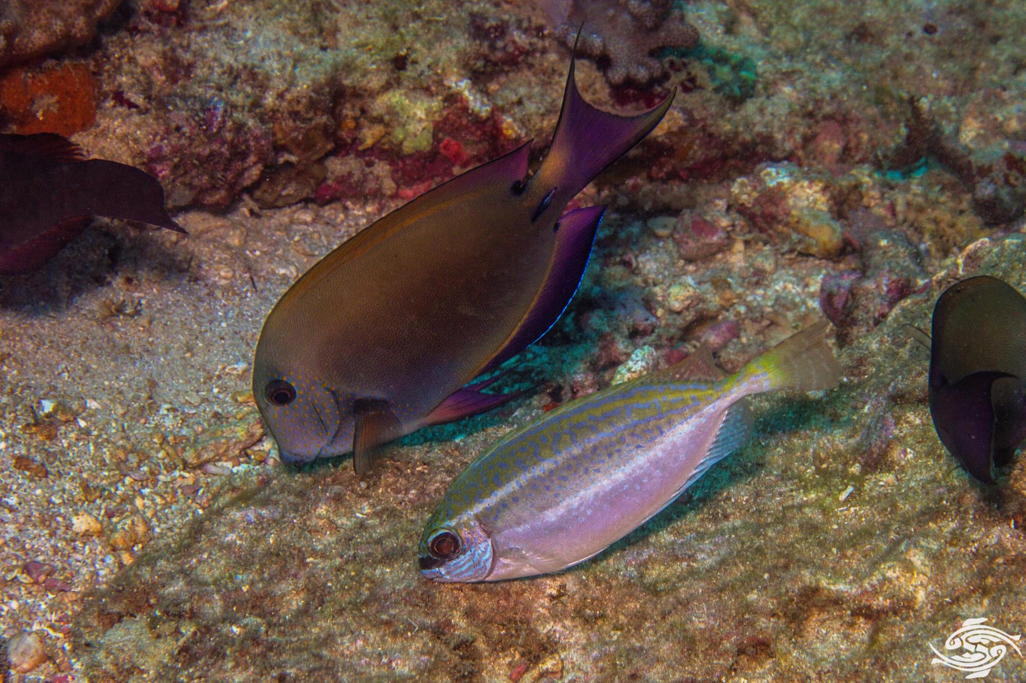 Dusky Rabbitfish (Siganus luridus)is also known as the Squaretail Rabbitfish and the Dusky Spinefoot
