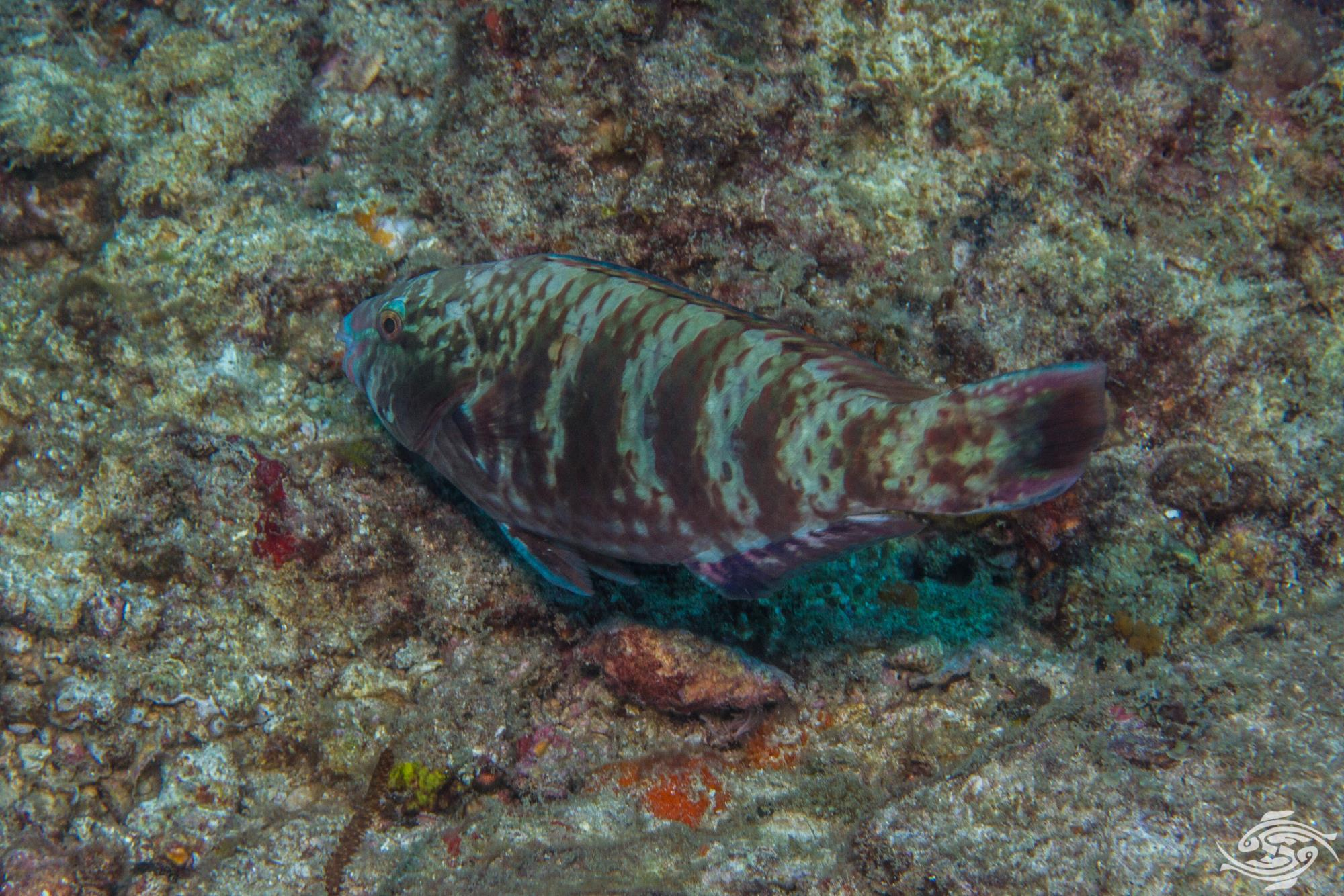images for bluemoon parrot fish
