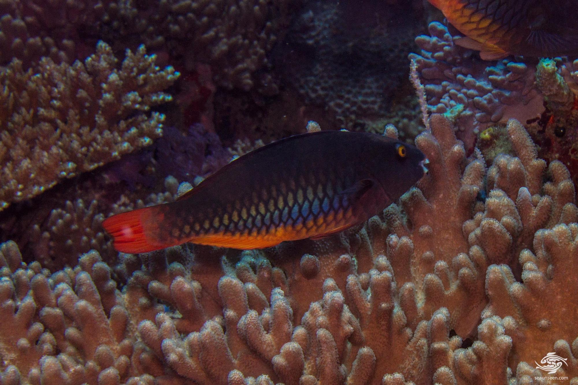 Initial phase female Tricolour parrotfish (Scarus tricolor) habitat
