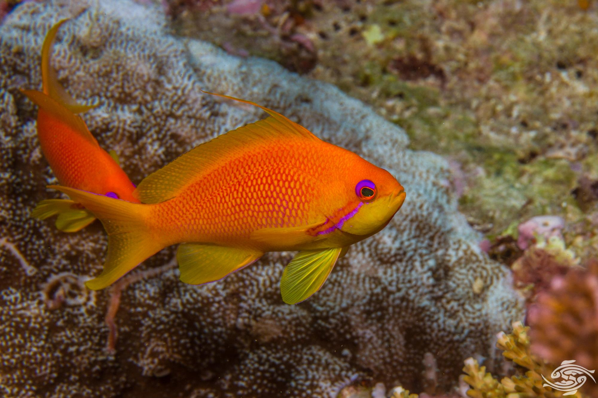 Female Sea Goldie (Pseudanthias squamipinnis)