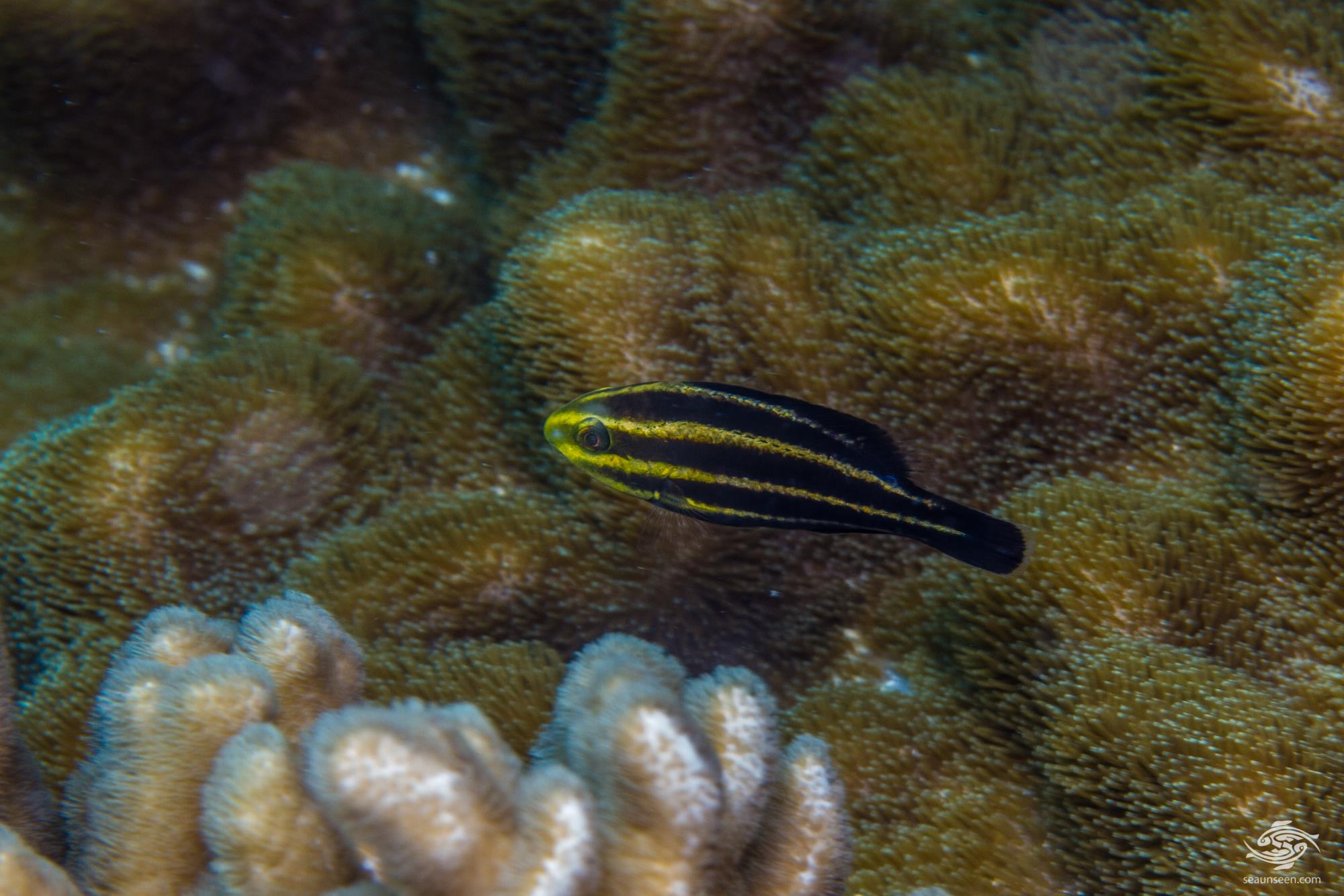 Juvenile Steephead parrotfish (Chlorurus strongylocephalus) also known as the Roundhead Parrotfish