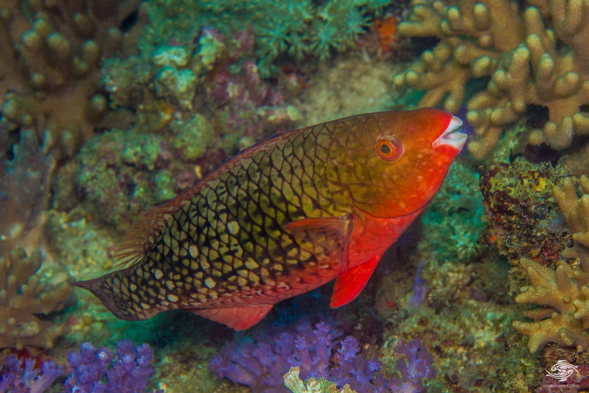 Young Initial Phase Ember Parrotfish (Scarus rubroviolaceus)  is also known as the Redlip Parrotfish and Bicolor Parrotfish