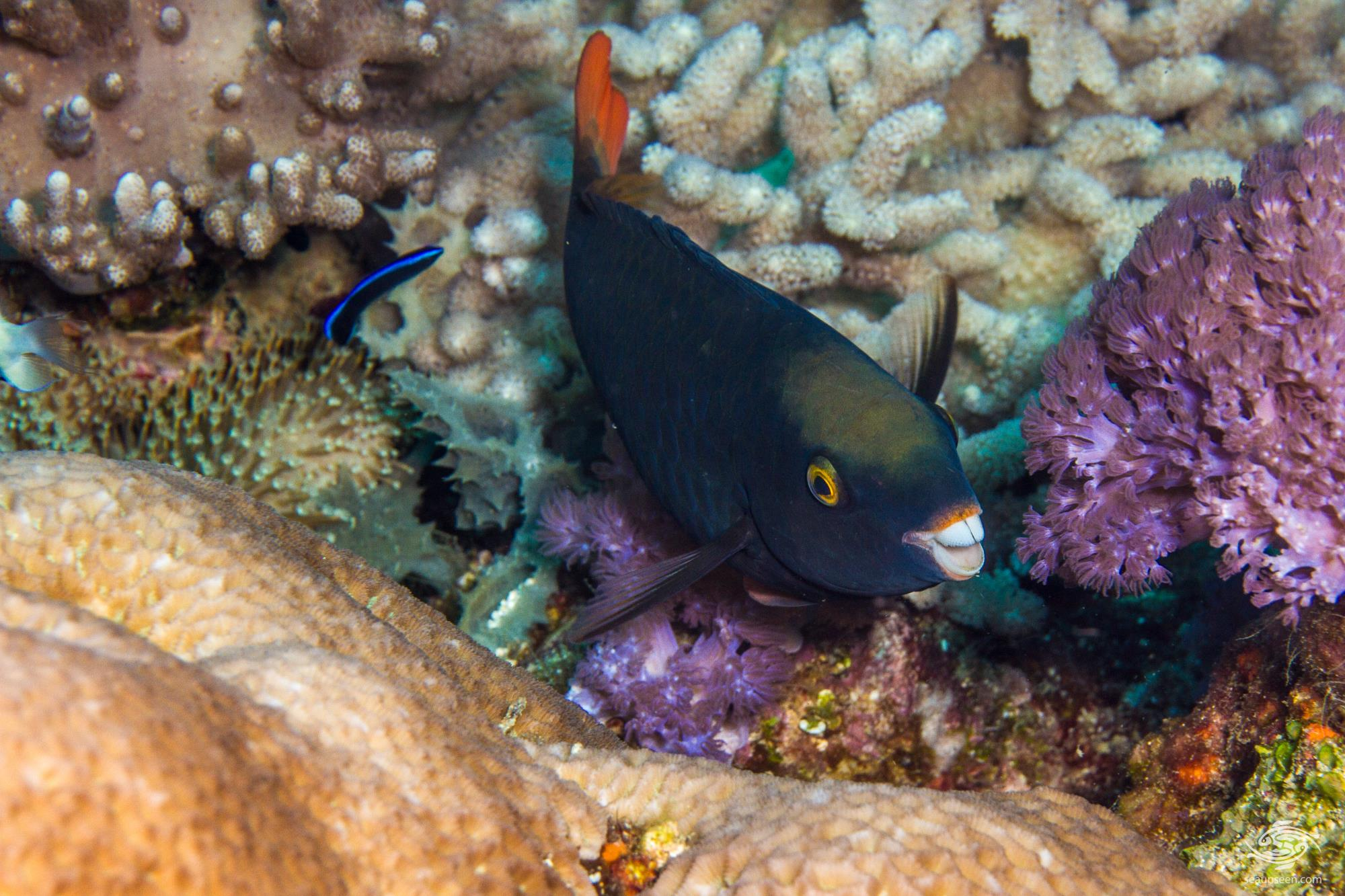 interesting facts about parrotfish south africa