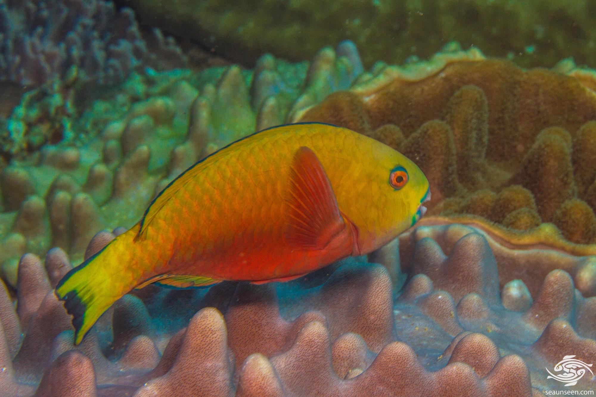 Initial Phase female Steephead parrotfish (Chlorurus strongylocephalus) also known as the Roundhead Parrotfish