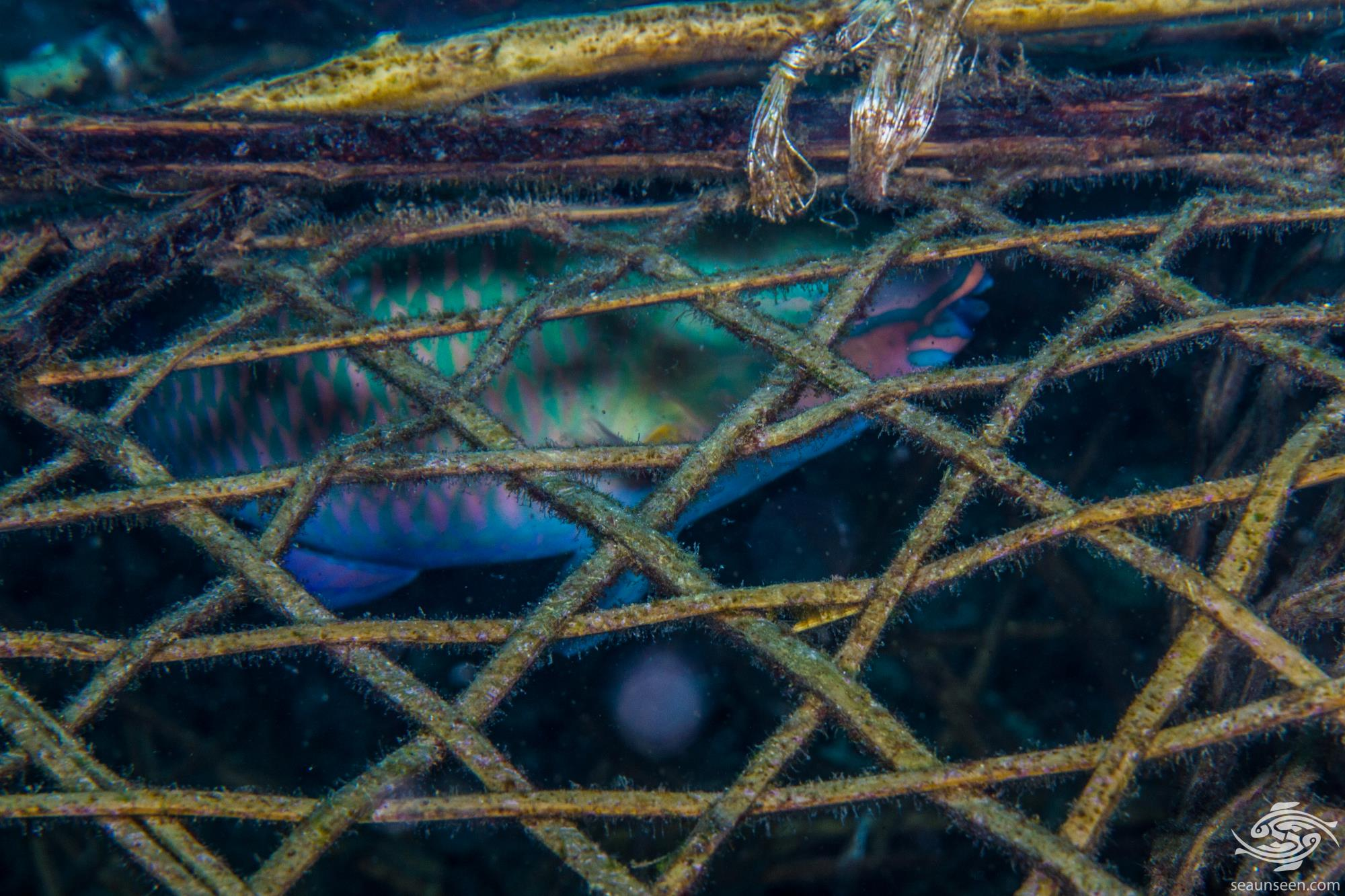 Terminal Phase Male in fish trap