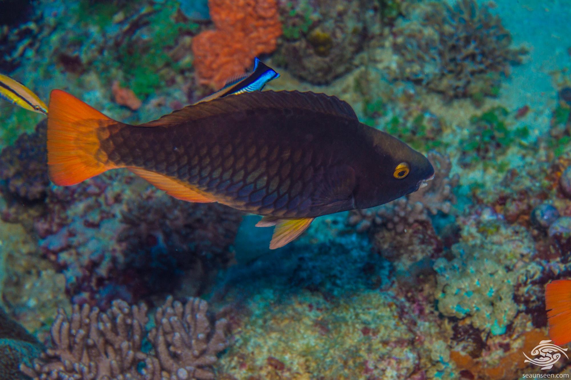 Initial phase female Tricolour parrotfish (Scarus tricolor)