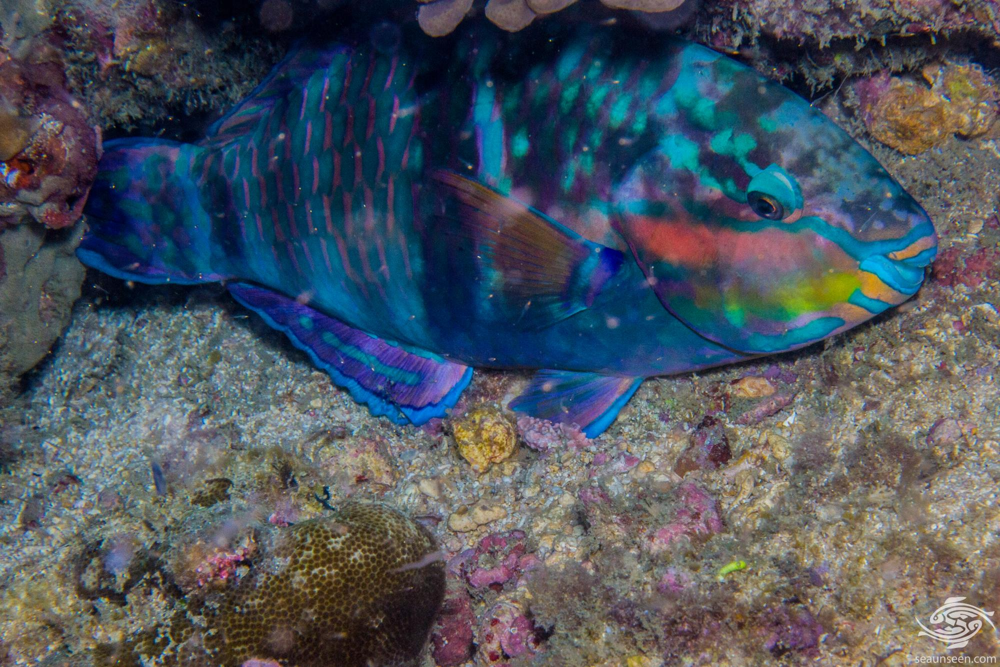Terminal Phase Male Tricolour parrotfish