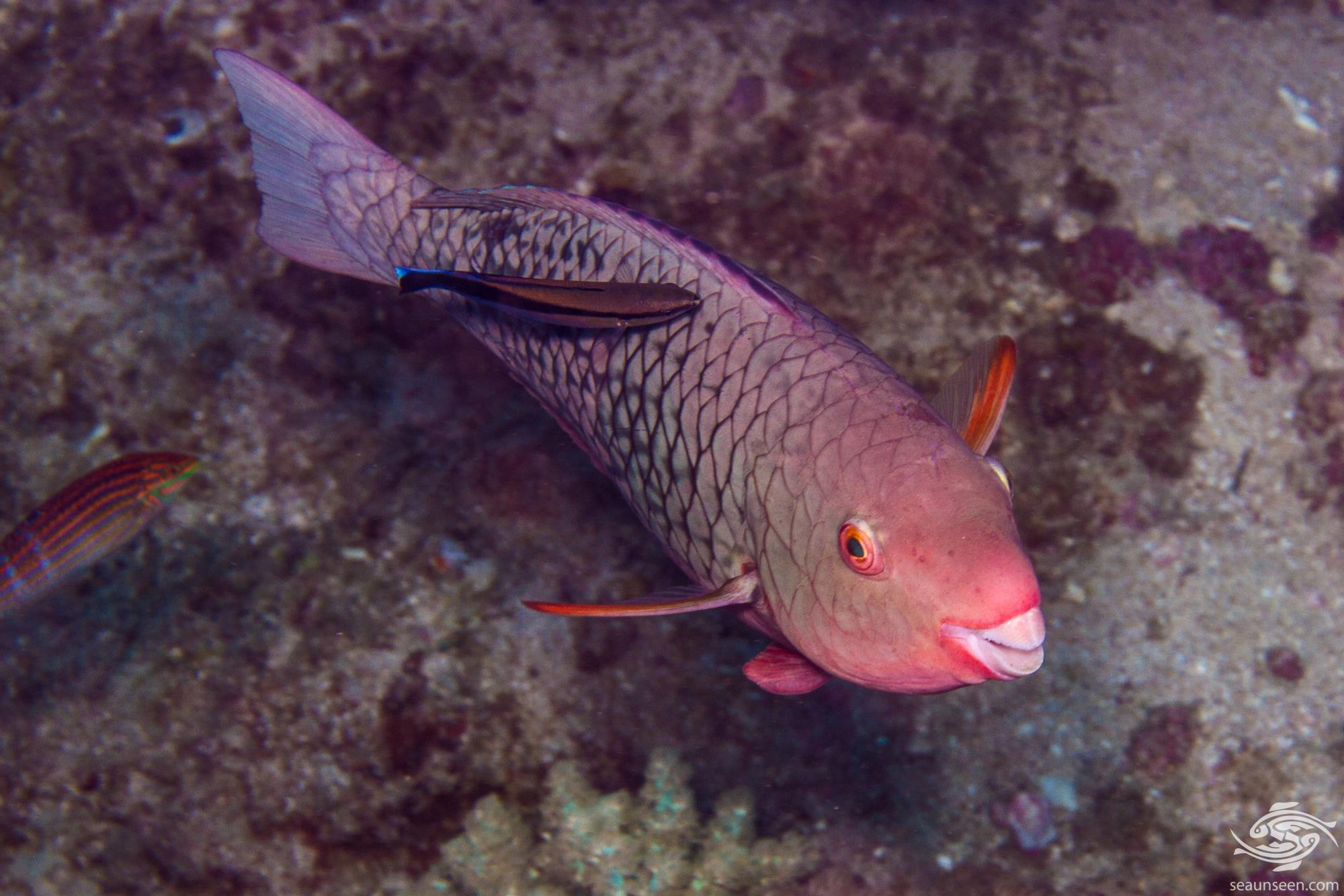 Initial Phase Female Ember Parrotfish (Scarus rubroviolaceus)  is also known as the Redlip Parrotfish and Bicolor Parrotfish