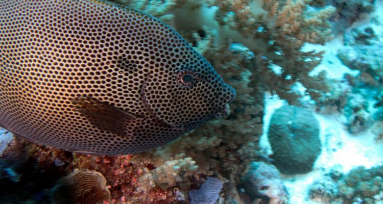 Honeycomb Rabbitfish (Siganus stellatus) is also known as the Brown-spotted spinefoot