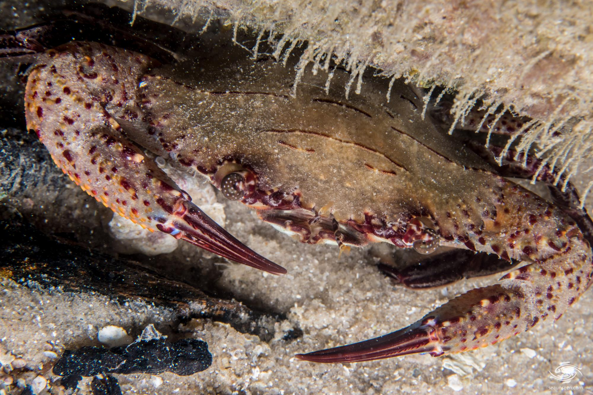 Ridged swimming crab (Charybdis natator) is also known as the wrinkled swimming crab or rock crab