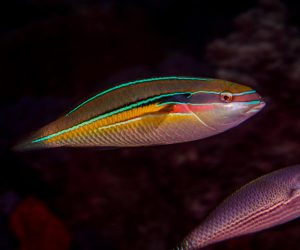 Male Three-ribbon wrasse,(Stethojulis strigiventer) is also known as the Silverstreak wrasse, Silverbelly wrasse, Lined rainbowfish and Silver-streaked rainbowfish