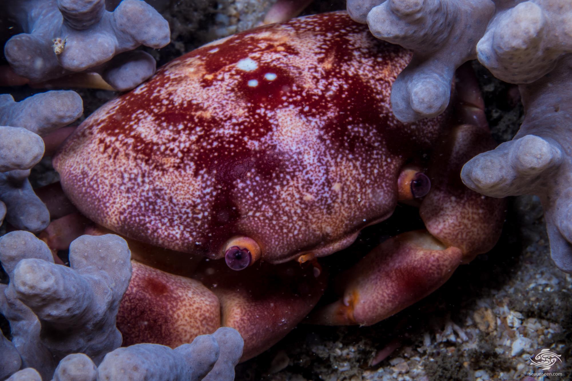 Convex reef crab (Carpilius convexus)